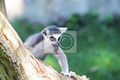 Постер Лемуры Кольцо хвостом lemur (Lemur catta) восхождение журналаЛемуры<br>Постер на холсте или бумаге. Любого нужного вам размера. В раме или без. Подвес в комплекте. Трехслойная надежная упаковка. Доставим в любую точку России. Вам осталось только повесить картину на стену!<br>
