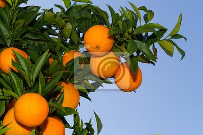 Постер Еда и напитки Свежие спелые апельсины на деревьях., 30x20 см, на бумагеМандарины<br>Постер на холсте или бумаге. Любого нужного вам размера. В раме или без. Подвес в комплекте. Трехслойная надежная упаковка. Доставим в любую точку России. Вам осталось только повесить картину на стену!<br>