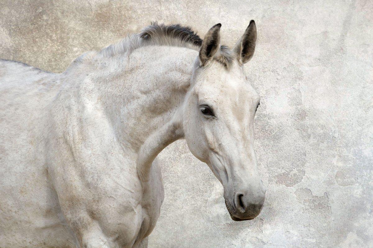 Постер Лошади Портрет красивой белой лошади на фоне стеныЛошади<br>Постер на холсте или бумаге. Любого нужного вам размера. В раме или без. Подвес в комплекте. Трехслойная надежная упаковка. Доставим в любую точку России. Вам осталось только повесить картину на стену!<br>