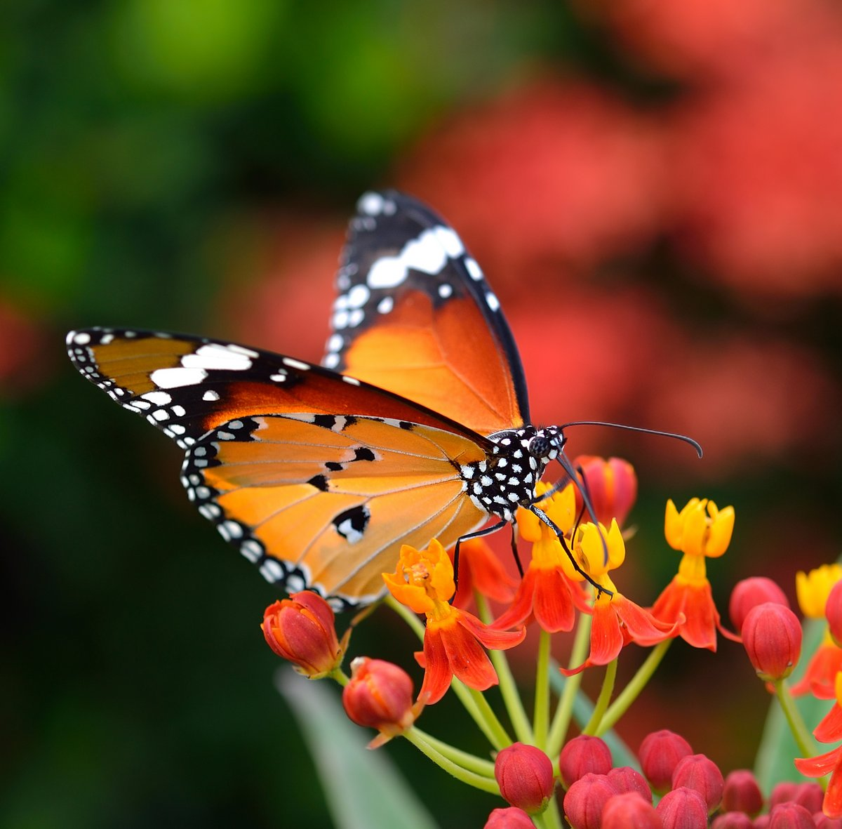 Постер-картина Бабочки Бабочка на оранжевый цветок в садуБабочки<br>Постер на холсте или бумаге. Любого нужного вам размера. В раме или без. Подвес в комплекте. Трехслойная надежная упаковка. Доставим в любую точку России. Вам осталось только повесить картину на стену!<br>
