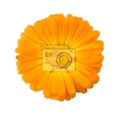 Постер Разные цветы Календула цветок изолированные на белом фонеРазные цветы<br>Постер на холсте или бумаге. Любого нужного вам размера. В раме или без. Подвес в комплекте. Трехслойная надежная упаковка. Доставим в любую точку России. Вам осталось только повесить картину на стену!<br>