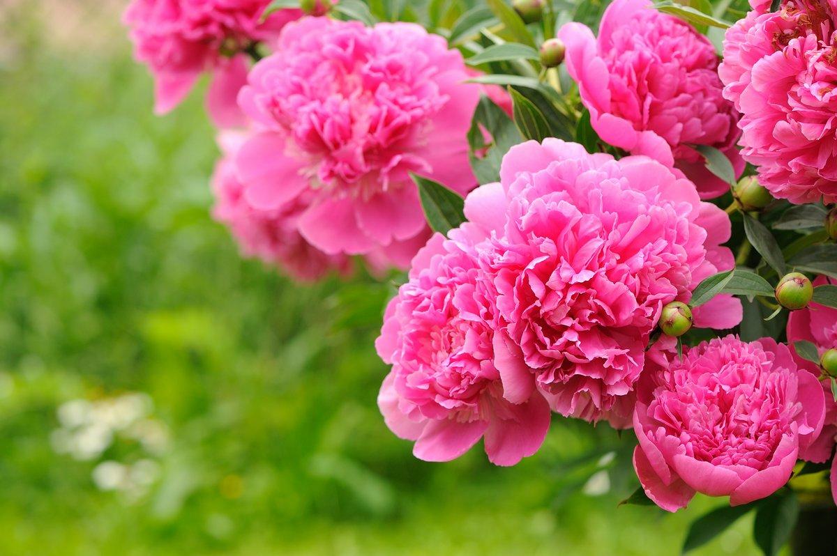 Постер Пионы Цветущий пион куст с розовыми цветами в садуПионы<br>Постер на холсте или бумаге. Любого нужного вам размера. В раме или без. Подвес в комплекте. Трехслойная надежная упаковка. Доставим в любую точку России. Вам осталось только повесить картину на стену!<br>