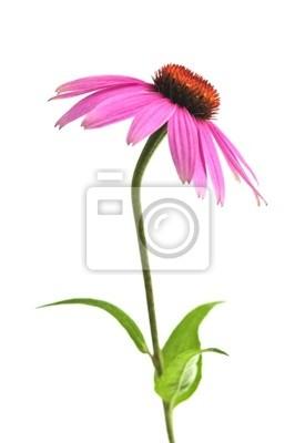 Постер Эхинацея Цветущий лекарственных трав echinacea purpurea или coneflowerЭхинацея<br>Постер на холсте или бумаге. Любого нужного вам размера. В раме или без. Подвес в комплекте. Трехслойная надежная упаковка. Доставим в любую точку России. Вам осталось только повесить картину на стену!<br>