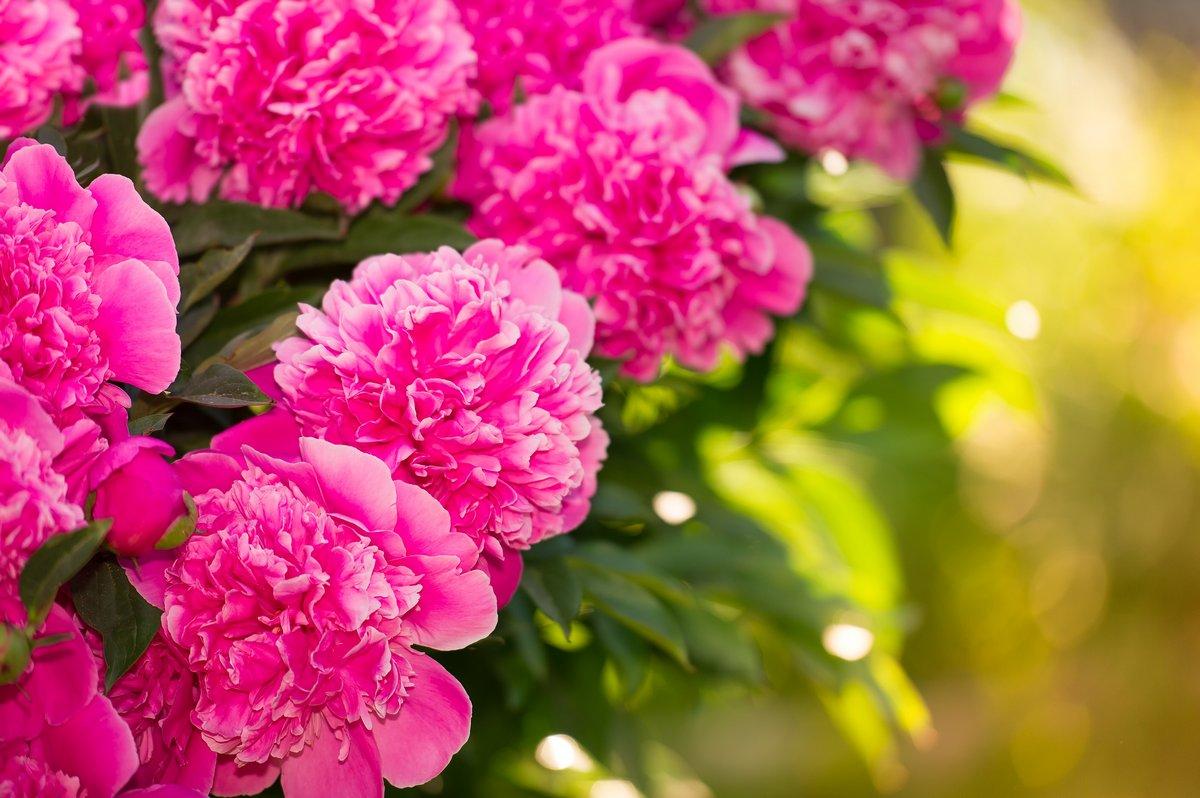 Постер Пионы Красивый розовый пион цветы в садуПионы<br>Постер на холсте или бумаге. Любого нужного вам размера. В раме или без. Подвес в комплекте. Трехслойная надежная упаковка. Доставим в любую точку России. Вам осталось только повесить картину на стену!<br>