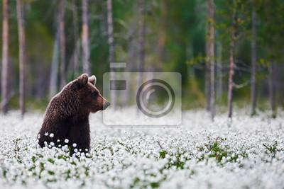 Постер Вечер Бурый медведь между пушицыВечер<br>Постер на холсте или бумаге. Любого нужного вам размера. В раме или без. Подвес в комплекте. Трехслойная надежная упаковка. Доставим в любую точку России. Вам осталось только повесить картину на стену!<br>