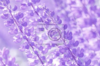 Постер Люпины Люпин, Люпин, Люпин поле с розовыми фиолетовыми и голубыми цветамиЛюпины<br>Постер на холсте или бумаге. Любого нужного вам размера. В раме или без. Подвес в комплекте. Трехслойная надежная упаковка. Доставим в любую точку России. Вам осталось только повесить картину на стену!<br>