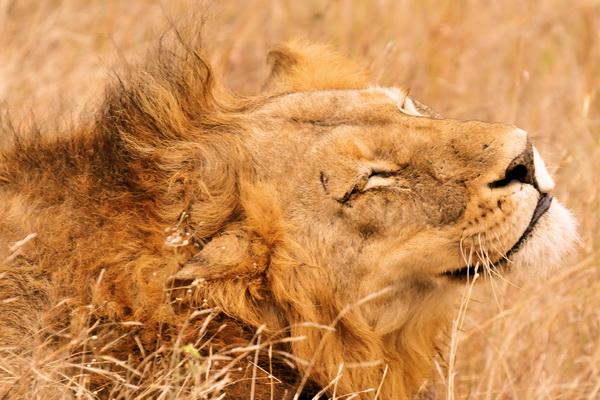 Постер Львы