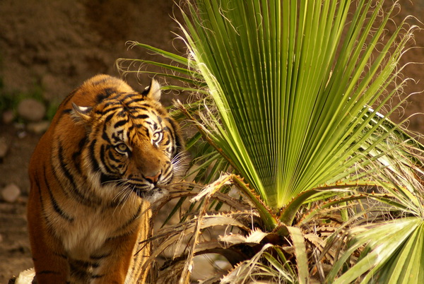 Постер Тигры