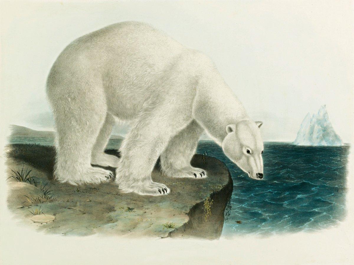 Одюбон Джон Джеймс, картина Белый медведьОдюбон Джон Джеймс<br>Репродукция на холсте или бумаге. Любого нужного вам размера. В раме или без. Подвес в комплекте. Трехслойная надежная упаковка. Доставим в любую точку России. Вам осталось только повесить картину на стену!<br>
