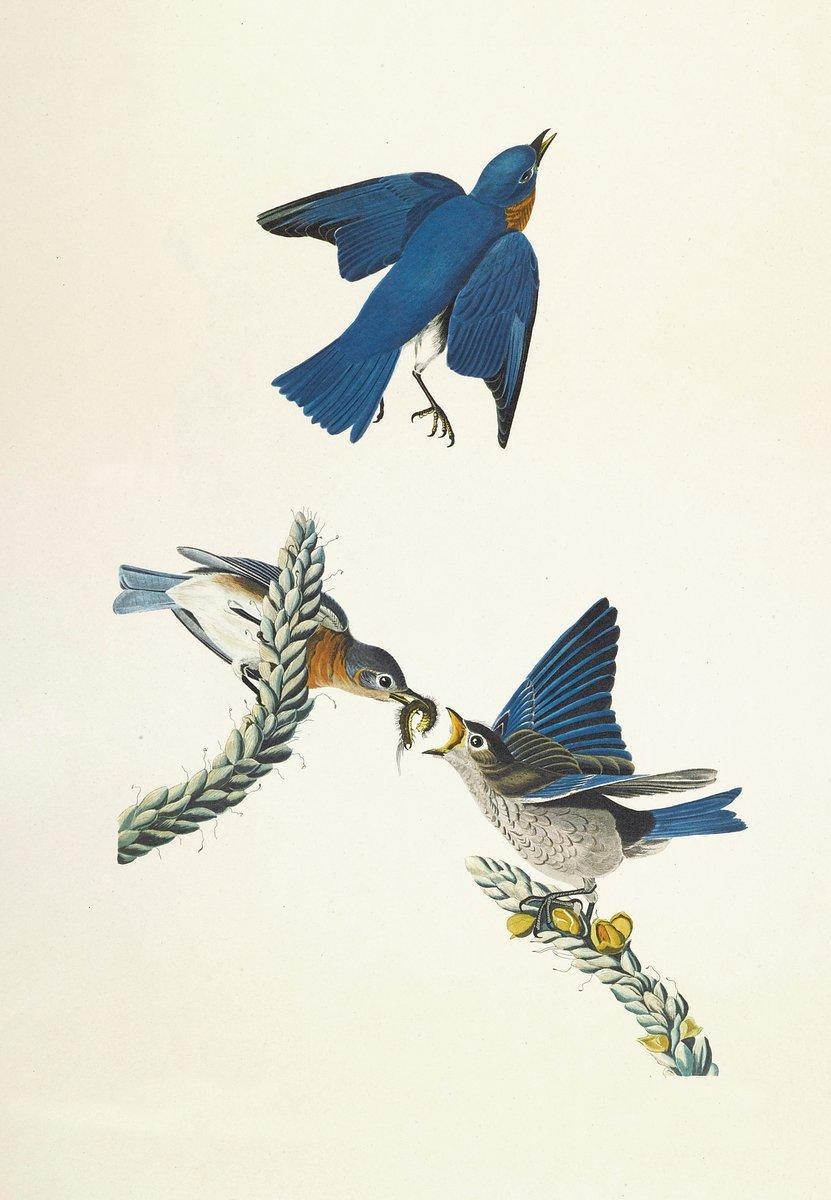 Одюбон Джон Джеймс, картина Синяя птицаОдюбон Джон Джеймс<br>Репродукция на холсте или бумаге. Любого нужного вам размера. В раме или без. Подвес в комплекте. Трехслойная надежная упаковка. Доставим в любую точку России. Вам осталось только повесить картину на стену!<br>