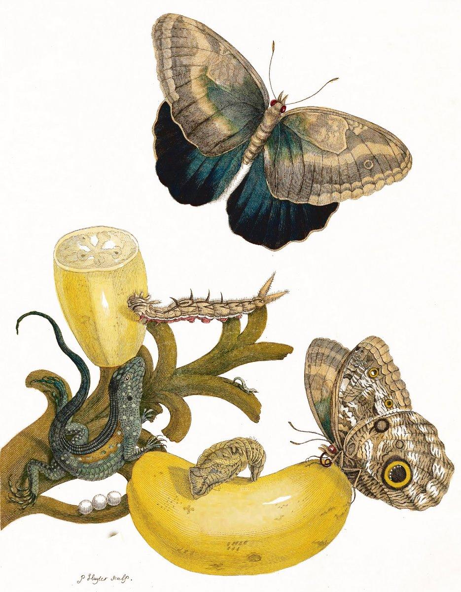 Искусство, картина Мериан Мария Сибилла «Банановое дерево и метаморфоза бабочек», 20x26 см, на бумагеНасекомые<br>Постер на холсте или бумаге. Любого нужного вам размера. В раме или без. Подвес в комплекте. Трехслойная надежная упаковка. Доставим в любую точку России. Вам осталось только повесить картину на стену!<br>