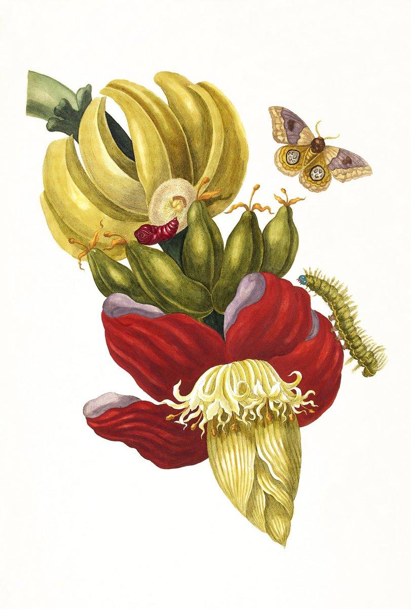 Насекомые, картина Мериан Мария Сибилла «Банановое дерево и моль», 20x30 см, на бумагеНасекомые<br>Постер на холсте или бумаге. Любого нужного вам размера. В раме или без. Подвес в комплекте. Трехслойная надежная упаковка. Доставим в любую точку России. Вам осталось только повесить картину на стену!<br>