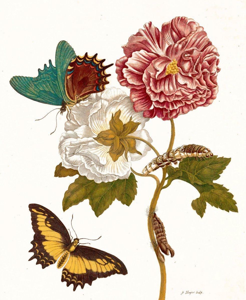 Искусство, картина Мериан Мария Сибилла «Розы и метаморфоза насекомых», 20x24 см, на бумагеНасекомые<br>Постер на холсте или бумаге. Любого нужного вам размера. В раме или без. Подвес в комплекте. Трехслойная надежная упаковка. Доставим в любую точку России. Вам осталось только повесить картину на стену!<br>