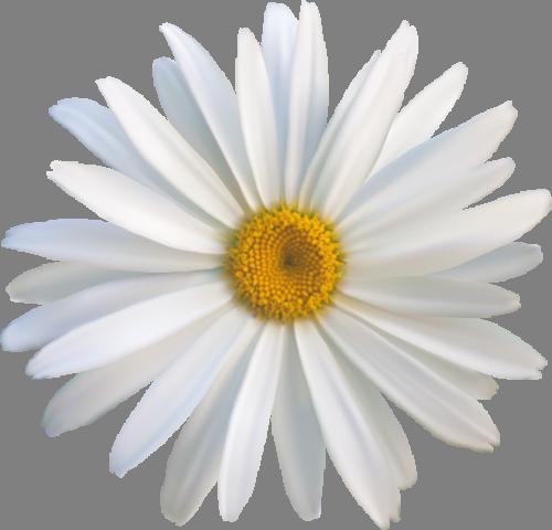 Наклейка «Белая ромашка»Цветы<br><br>