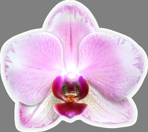 Наклейка «Розовое сияние»Цветы<br><br>