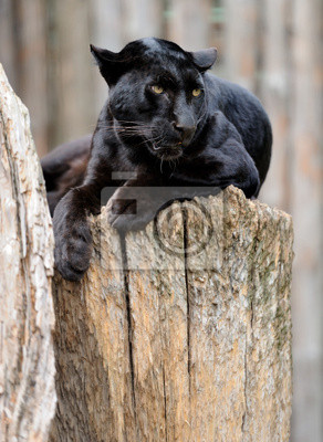 """Постер Животные """"Черный леопард"""", 20x27 см, на бумаге от Artwall"""