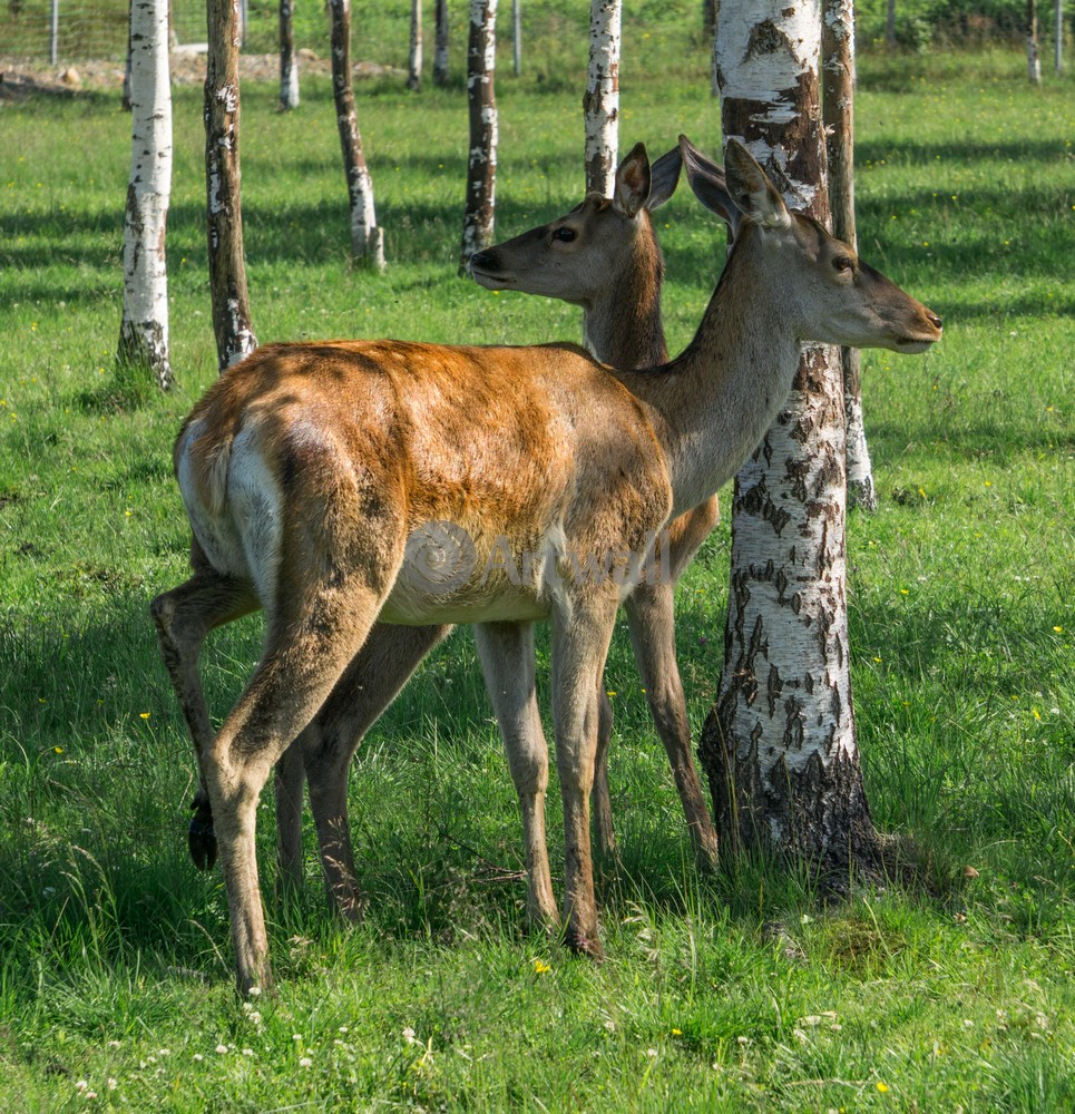 """Постер Животные """"Два молодых оленя"""", 20x21 см, на бумаге от Artwall"""