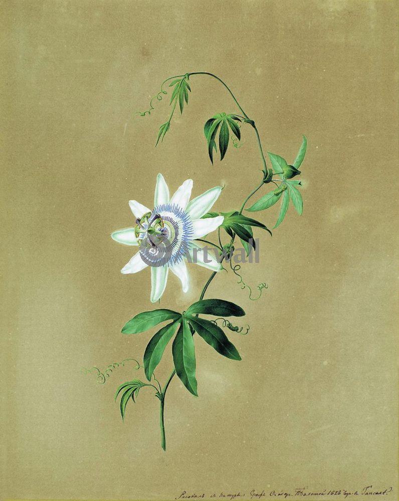 "Художники, картина ""Цветок кавалерская звезда"", 20x25 см, на бумаге от Artwall"