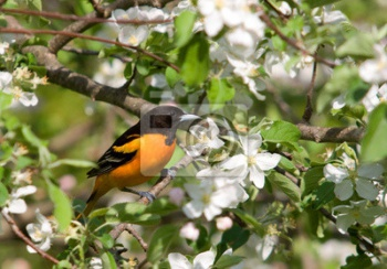Baltimore Oriole,