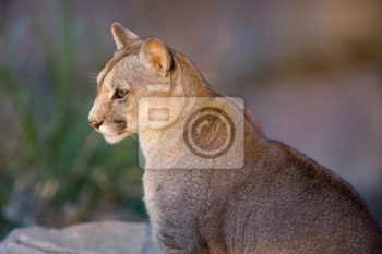 Кугуар close-up - Puma concolor),