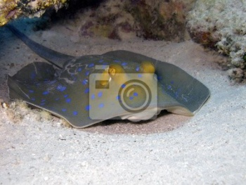 Bluespotted ribbontail ray,