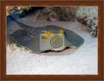 Магнитная картина Bluespotted ribbontail ray,