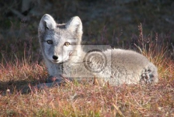 Arctic_fox_lying,