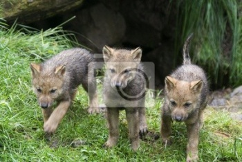 Wolfswelpen ( Canis lupus ), Волки