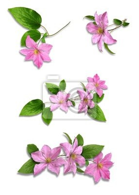 Clematis_variants, Клематисы