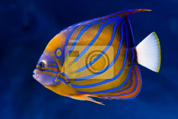 Bluering angelfish,