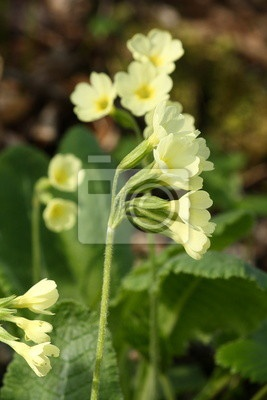 Oxlips,