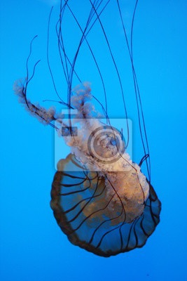 Jelly Fish,