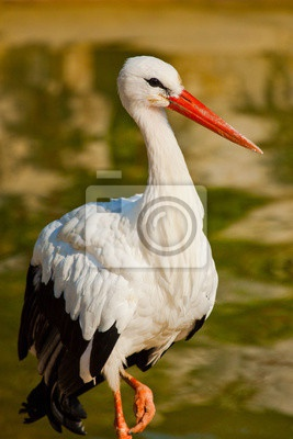 Wei?storch (Ciconia ciconia), Аисты