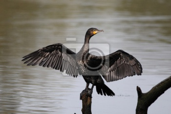 Баклан, Phalacrocorax carbo, ,