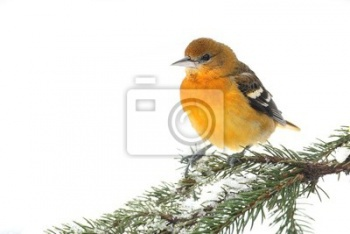 Baltimore Oriole (Желтухой galbula), Иволга